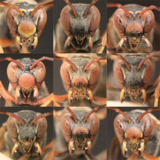 paper wasp faces with distinct facial markings