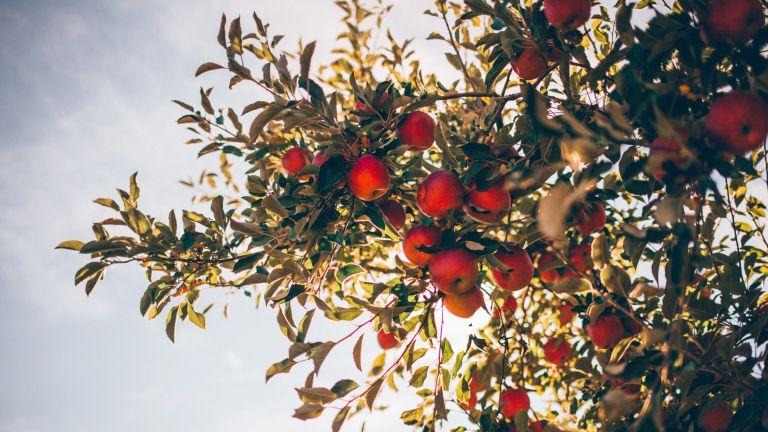 Monty Don's fruit tree tips, June Drop