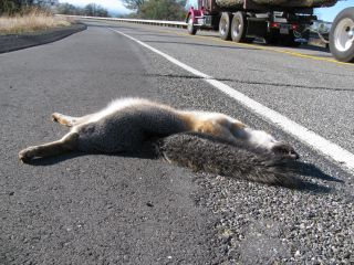 Gray Fox Road Kill