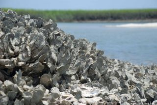 An oyster reef in South Carolina