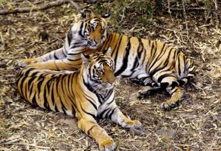 tigers, tiger conservation, endangered species, big cats, india, tiger conservation conference, tiger summit
