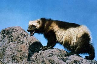 A wolverine hangs out on some rocks.