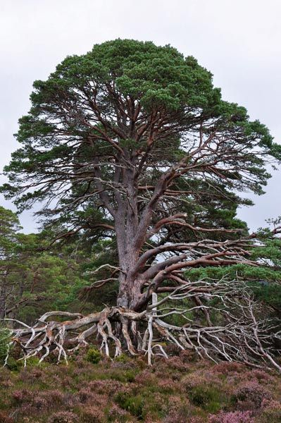 Amazing old Scots Pine