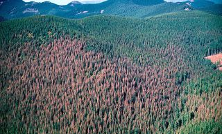 Aerial photograph of western spruce budworm outbreak at Mount Hood National Forest, Oregon.