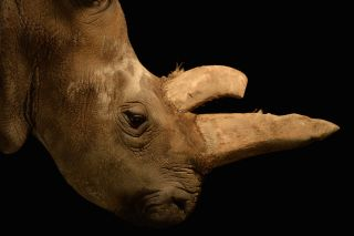 The northern white rhino Nabiré, a 32-year-old female at the Dvůr Králové Zoo, died on July 27, 2015.
