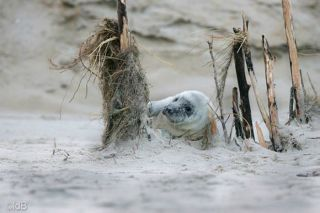 A young grey seal