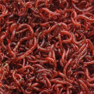 Bloodworms in a Water Supply - Are They Safe? | Blood Worms
