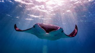 A manta ray in the Maldives.