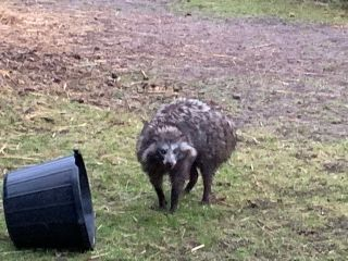 The Nottinghamshire police shared this image, apparently of one of the escaped racoon dogs, online. It's amazing.