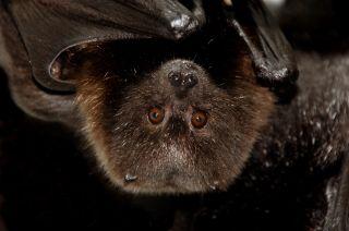 bats, endangered species