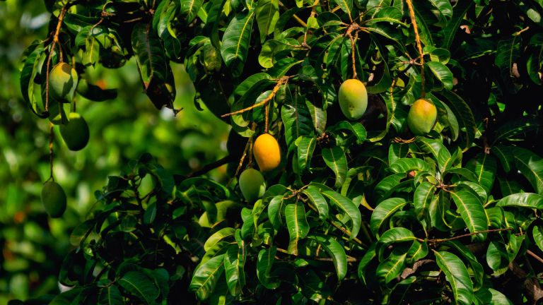 mango tree with yellow mangoes