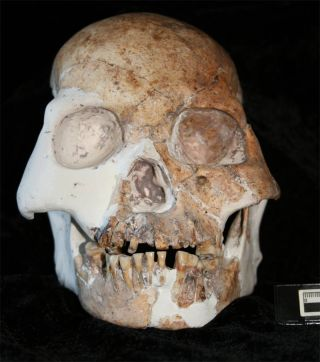 A skull of the Red Deer Cave People, possibly a previously unknown human species.