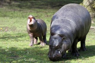 Baby pygmy hippo Eve lets out a yawn while out for a stroll with her mom Ellen at the Edinburgh Zoo.