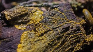 A yellow mesh of goo known as a slime mold sits on a log. Gross!