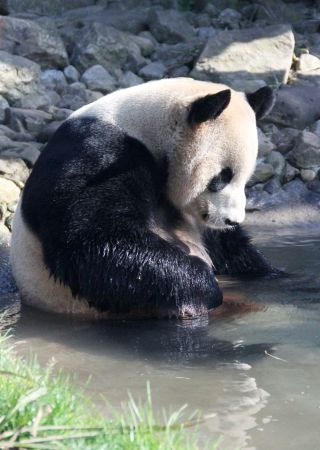 Yang Guang, the Edinburgh Zoo's new male panda, takes a dip in his pool.