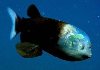 Strange Fish Has See Through Head Live Science