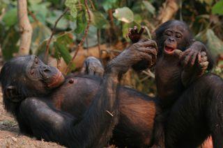 Bonobo and baby, Etumbe and her baby
