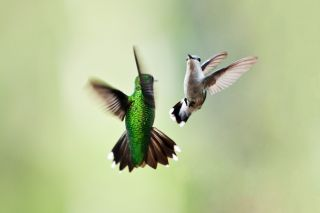 Hummingbird mates in flight.