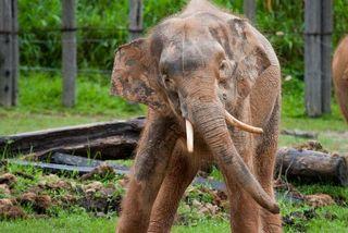 asian pygmy elephantn in a Borneo preserve
