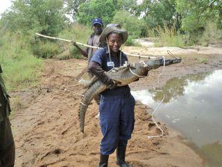 WCS Conservationist Carol Bogezi holding a pygmy Nile crocodile.