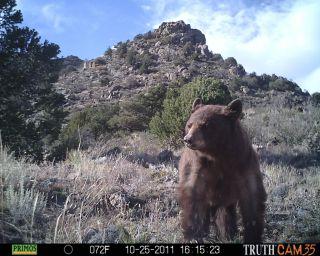 black bear poses