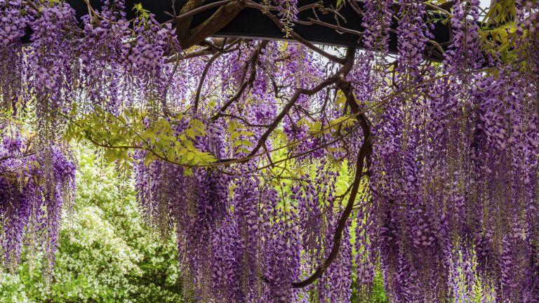 wisteria trailing from a pergola and trellis