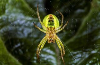 The newfound Araniella villanii is an orb-weaver spider, a group that uses math to spin their webs.