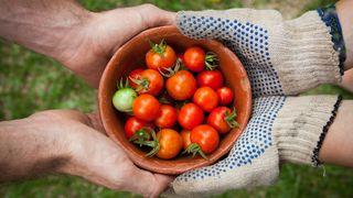 The best tomato plants
