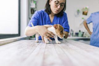 parvovirus in puppies