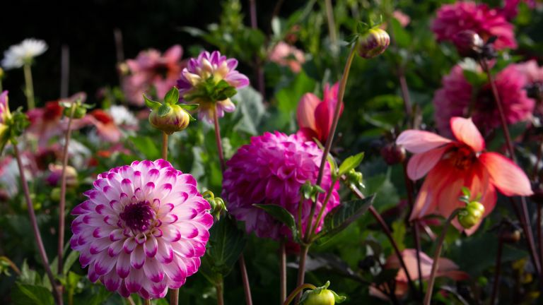 dahlia tubers showing the grown flowers in the border
