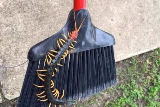 Giant Redheaded Centipede Photo Goes Viral, Horrifies the