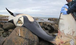 lulu-polluted-whale.jpg