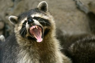 Teeth-Baring 'Zombie' Raccoons Scaring Residents of Ohio