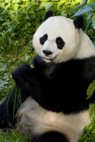 Mei Xiang, female giant panda, Smithsonian's National Zoological Park.