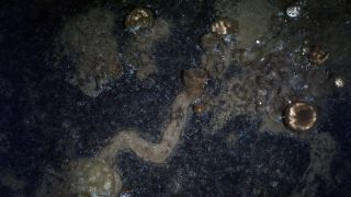 An example of a trail left by sponges as they crawl across the seafloor.