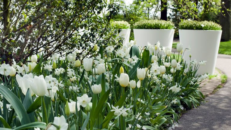 garden color schemes: white tulips