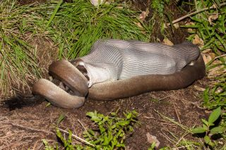 Olive python feeding on a wallaby.