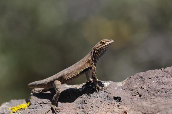 Why Do Lizards Do Push-Ups?   Live Science
