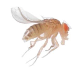 A common fruit fly (Drosophila melanogaster).