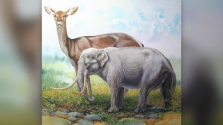 An illustration of a dwarf elephant, a resident on islands in the Mediterrnean Sea until modern humans arrived and it went extinct. For scale, the living male fallow deer is pictured next to the elephant, which is 40 inches tall (1 meter) at the shoulders.