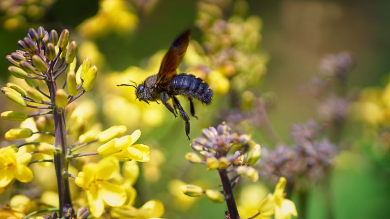 how to get rid of carpenter bees: large carpenter bee with yellow flowers
