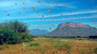 Locusts swarm from ground vegetation in northern Kenya, on Jan. 22, 2020.