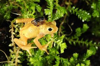 A diminutive Kihansi spray toad newborn rests on the back of an adult female.