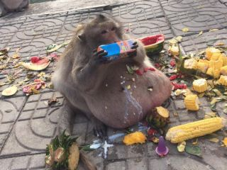 Tourists at a food market in Thailand make a habit of feeding this now-obese macaque loads of sugary and fatty foods.