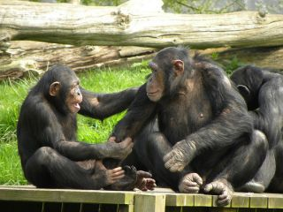 chimpanzees in the wild