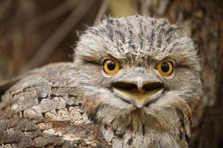 A tawny frogmouth bats its enormous eyes at the camera.
