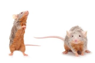 Two brown-grey mice on a white background, one is standing on its back legs and sniffing.