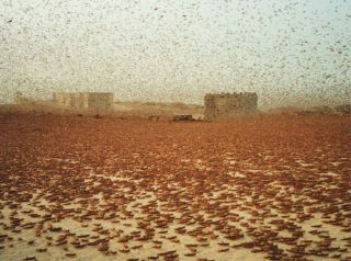 Swarms typically contain between 40 and 80 million locusts per square kilometer. This swarm passed through Nouakchott, the largest city in Mauritania.