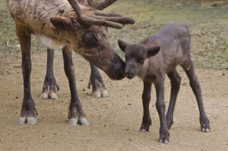 Reindeer mom and calf at San Diego Zoo