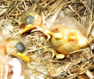 Two baby medium ground finches (Geospize fortis) lay dead in their nest, killed by the larvae of the fly Philornis downsi.